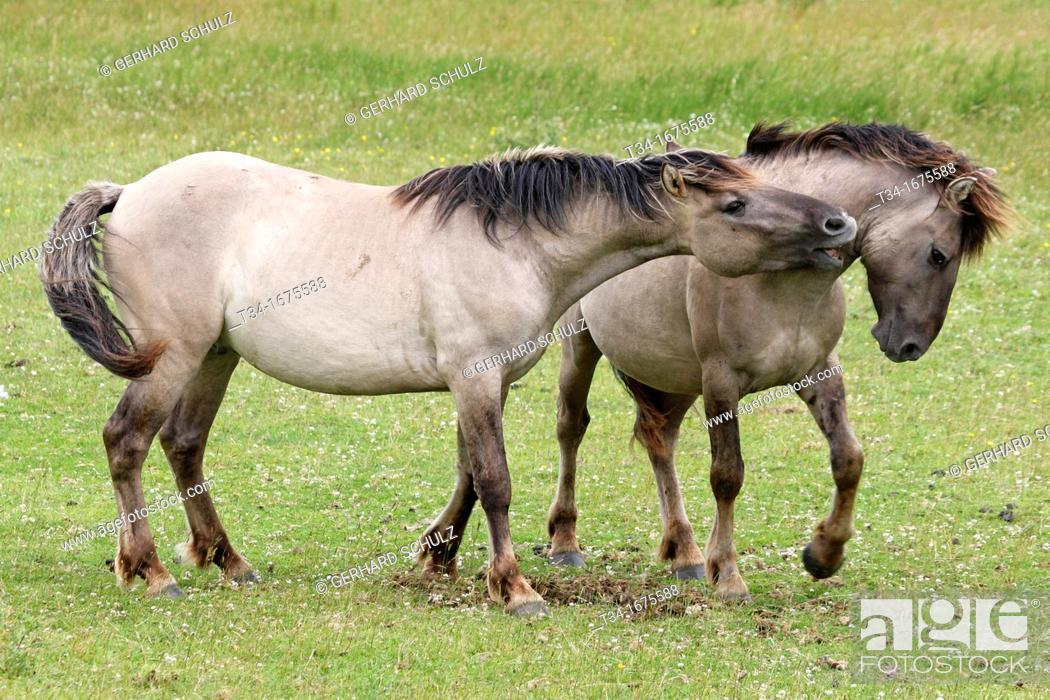 Stock Photo: Konic Horse or Polish Primitive Horse, Epuus ferus caballus, Schleswig-Holstein, Germany.