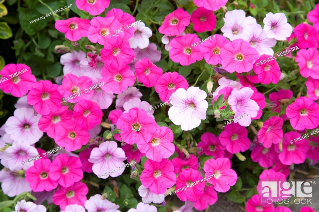Stock Photo: Potted petunias in garden.