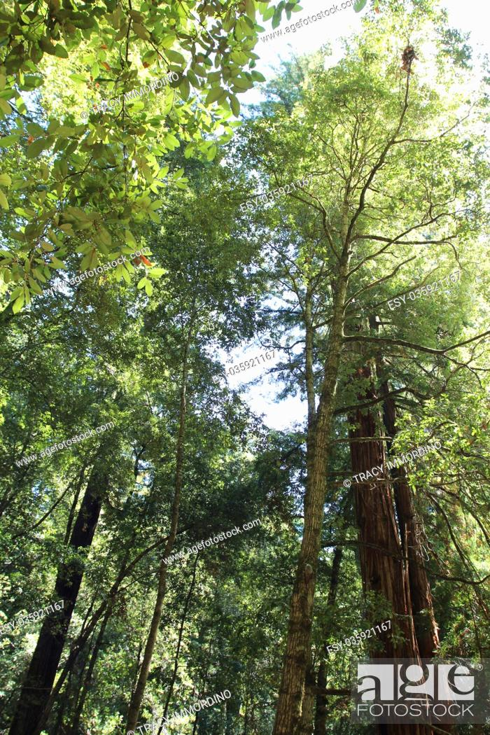 Stock Photo: Looking up into the canopy of trees at Big Basin Redwoods State Park in Boulder Creek, California, USA.
