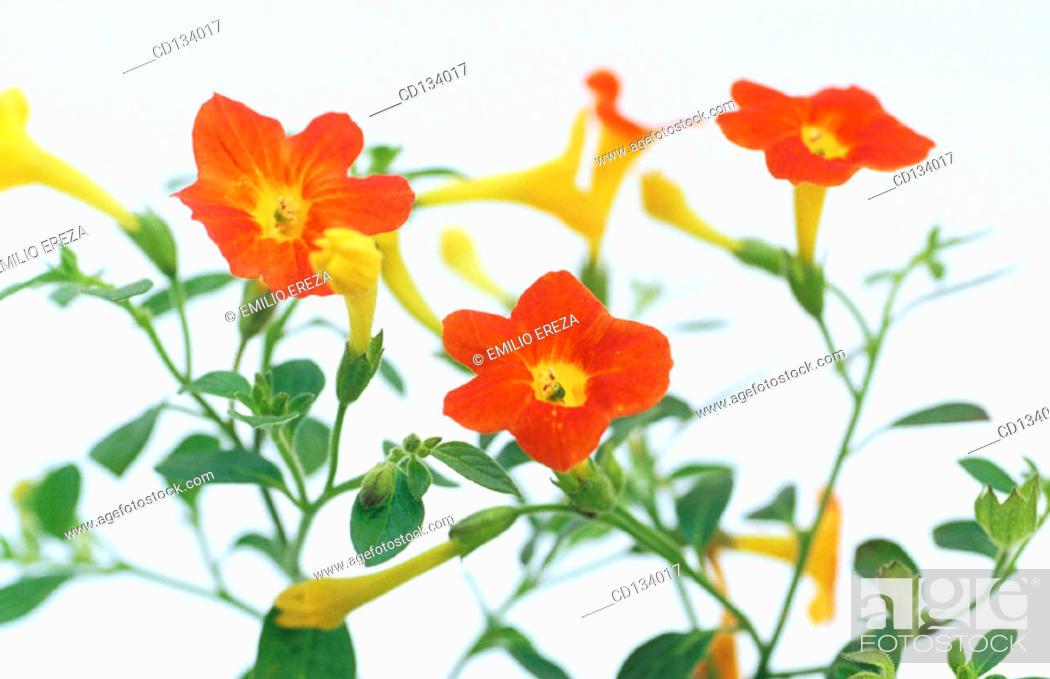 Stock Photo: Leptosolen jamesonii.