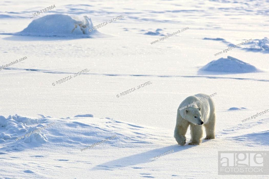 Stock Photo: North American, Canada, Manitoba, Churchill, Cape Churchill  Polar Bear walking the frozen tundra.