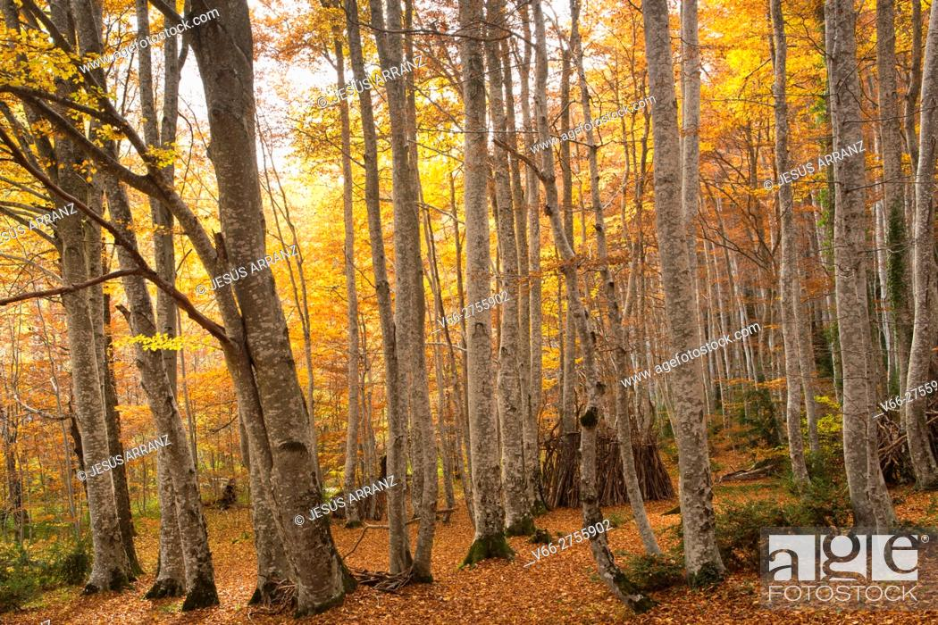 Stock Photo: Forest Betato.