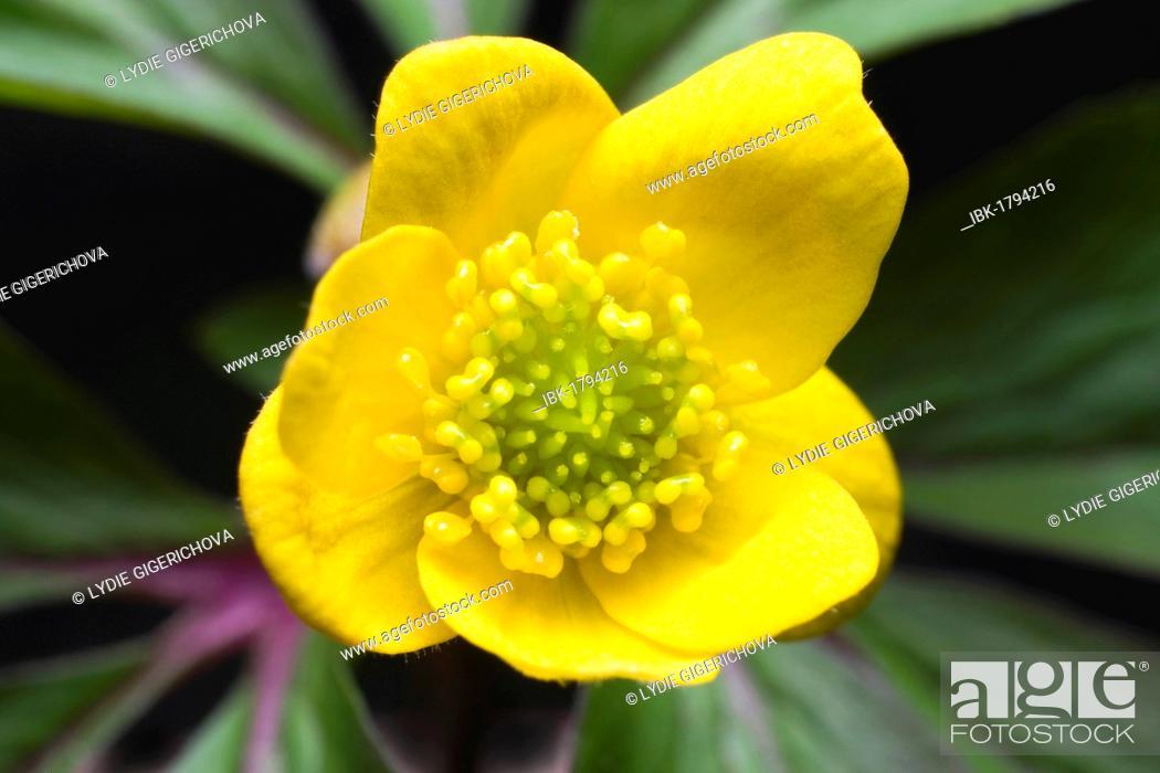 Stock Photo: Yellow Woodland Anemone, Yellow Wood Anemone, Buttercup Anemone, Yellow Woodland Thimble-Weed, Yellow Anemone (Anemonoides ranunculoides, Anemone ranunculoides.