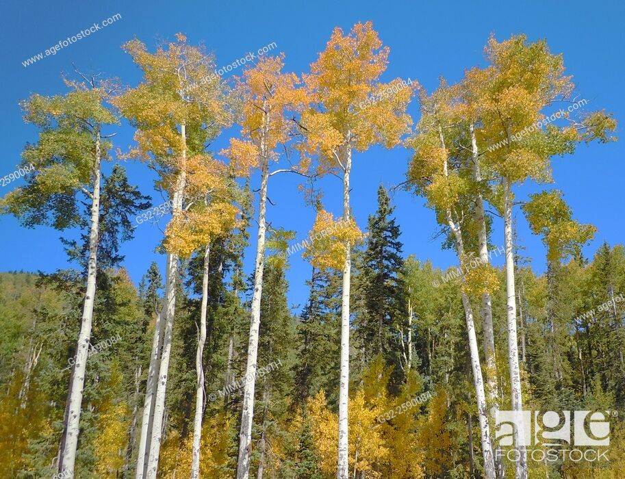 Stock Photo: Aspen trees among conifers turn golden in Autumn, New Mexico, USA.