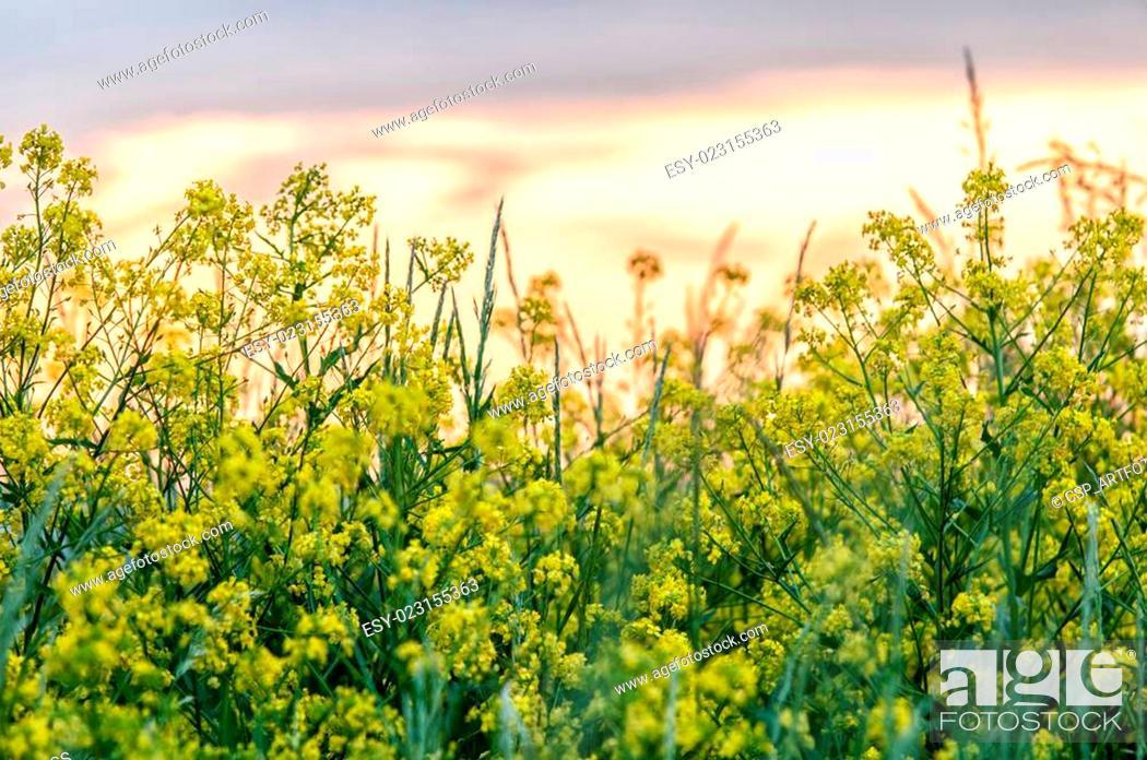Stock Photo: Cypress spurge (Euphorbia Cyparissias) on a meadow.