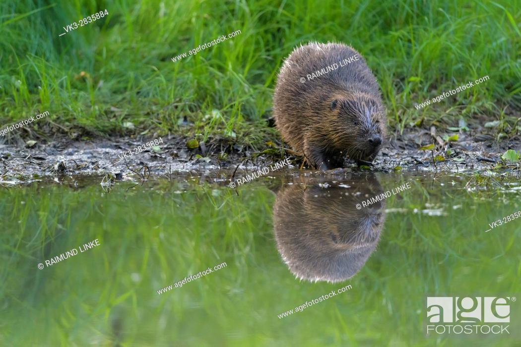Photo de stock: Beaver, European beaver, Castor fiber, Spessart, Bavaria, Germany.