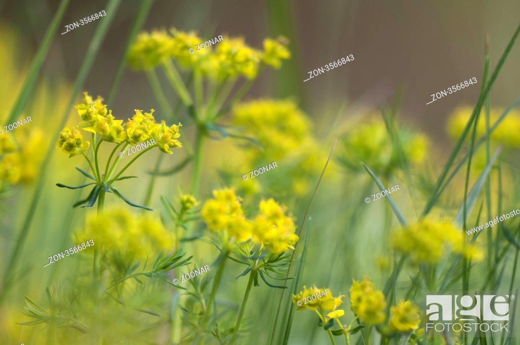 Stock Photo: Zypressen-Wolfsmilch, Cypress Spurge Euphorbia cyparissias.