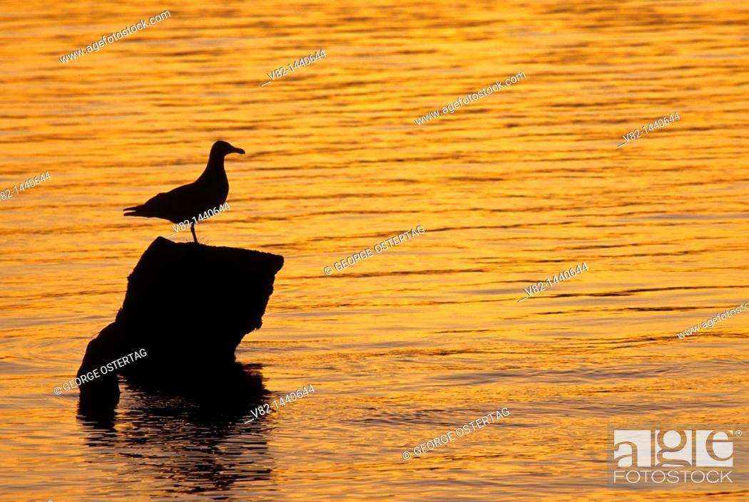 Stock Photo: Gull sunset, Julia Butler Hanson Columbian Whitetail Deer National Wildlife Refuge, WA.