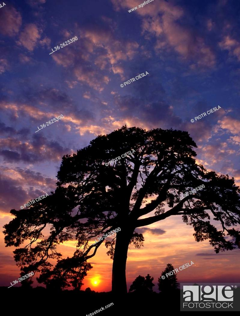 Stock Photo: Old pine tree in Mielnik village. Podlasie region. Poland.