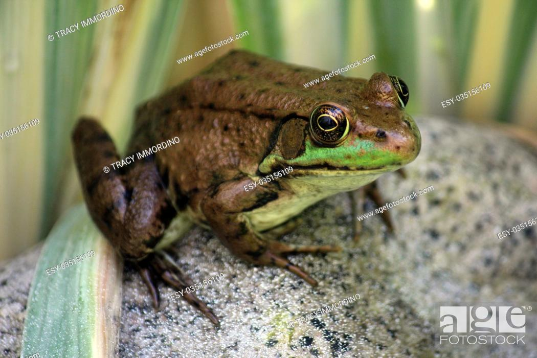 Stock Photo: Close up of an American Bullfrog, Lithobates catesbeianus, sitting on a rock using a bokeh effect.