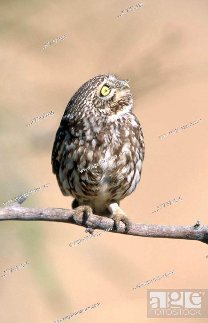 Stock Photo: Little Owl (Athene noctua). Extremadura. Spain.