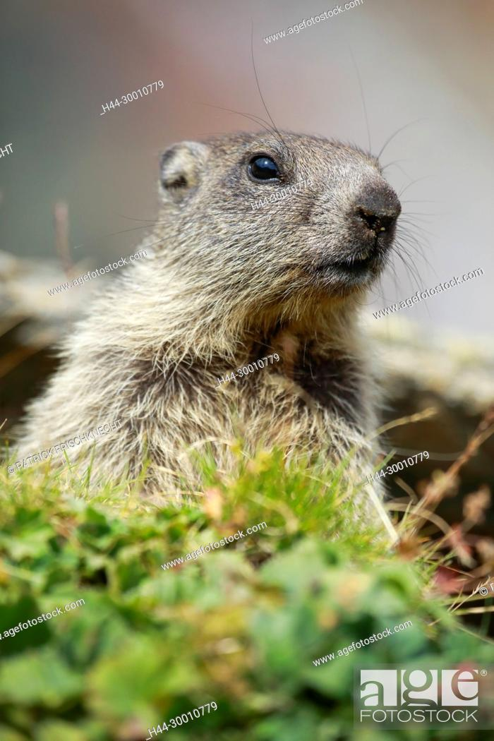 Stock Photo: Alpenmurmeltier, Marmota marmota, Alpine Marmot,.