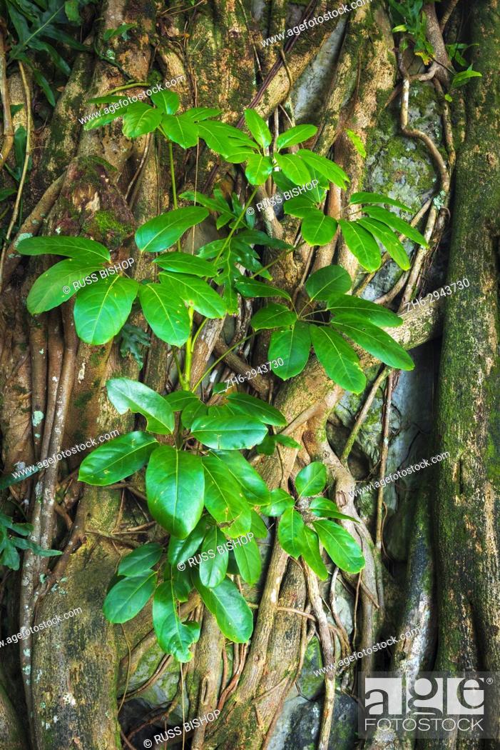 Stock Photo: Tree roots and shoots, Onomea Bay, Hamakua Coast, The Big Island, Hawaii USA.