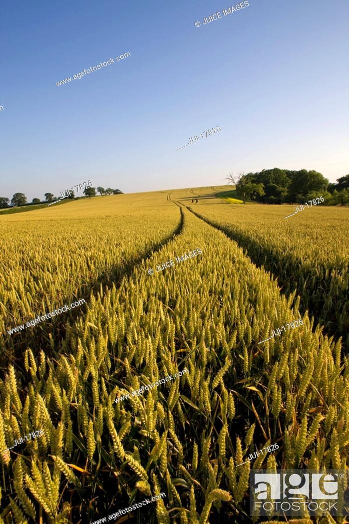 Stock Photo: Tracks in wheat field.