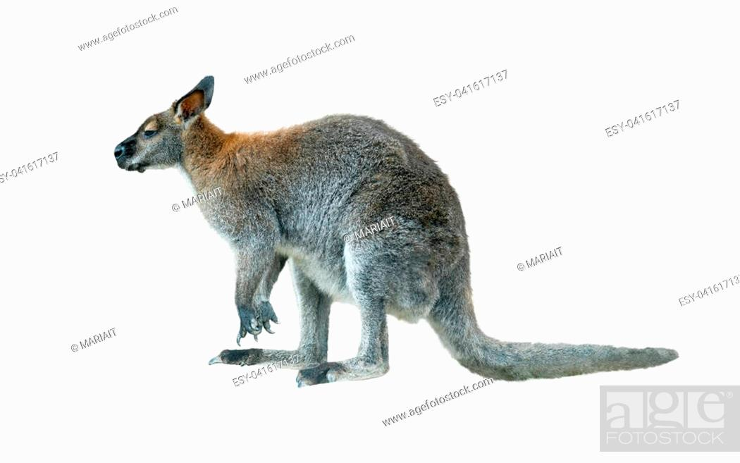 Stock Photo: rock wallaby young male isolated over a white.