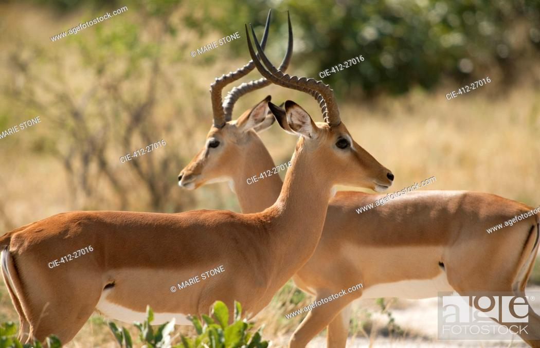 Imagen: Two antelope with horns crossing.