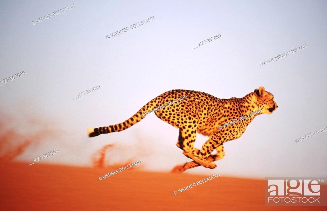 Stock Photo: Cheetah running (Acinonyx jubatus) in captivity. Game Farm. Namibia.
