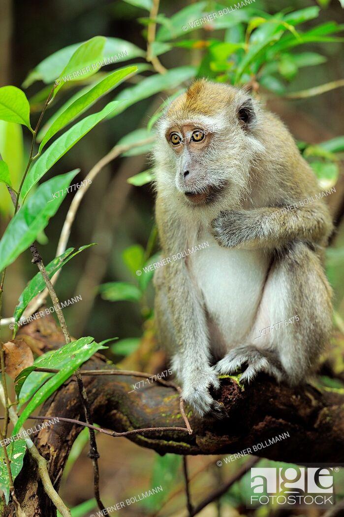 Imagen: Long-tailed Macaque Macaca fascicularis, Tanjung Puting National Park, Province Kalimantan, Borneo, Indonesia.