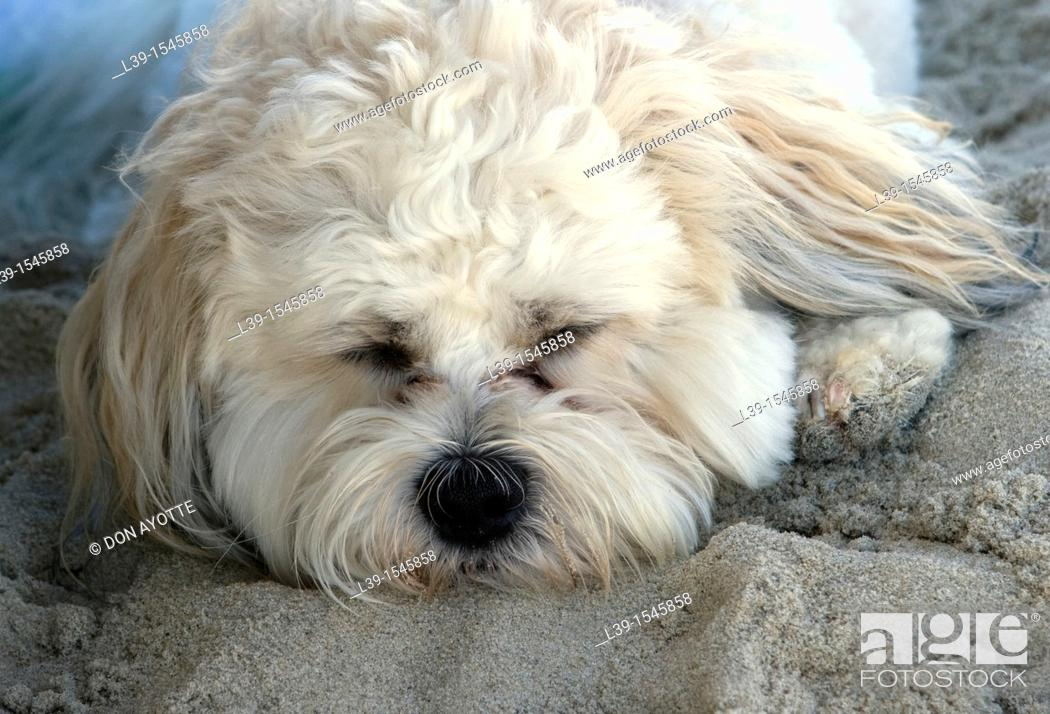 Stock Photo: dog napping on the beach.