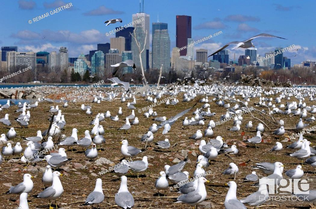 Stock Photo: Crowd of Ring Billed Gulls at Leslie Street Spit nesting grounds.