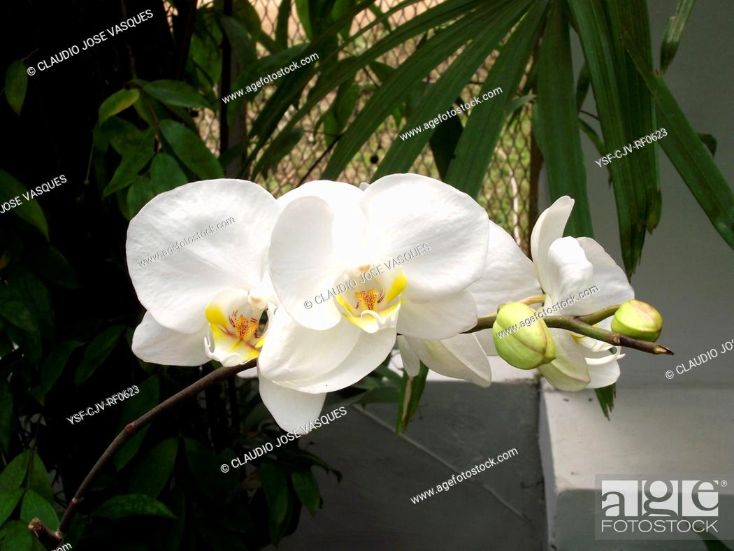 Stock Photo: Flowers, orchid, orchids, Phaleanopis, Botanical Garden, City, Rio de Janeiro, Brazil.