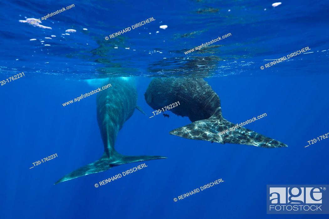 Stock Photo: Social bahavior of Sperm Whale, Physeter macrocephalus, Caribbean Sea, Dominica.