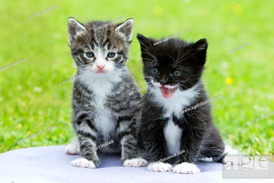 Stock Photo: Kittens, two sitting together on cushion in garden, Lower Saxony, Germany.