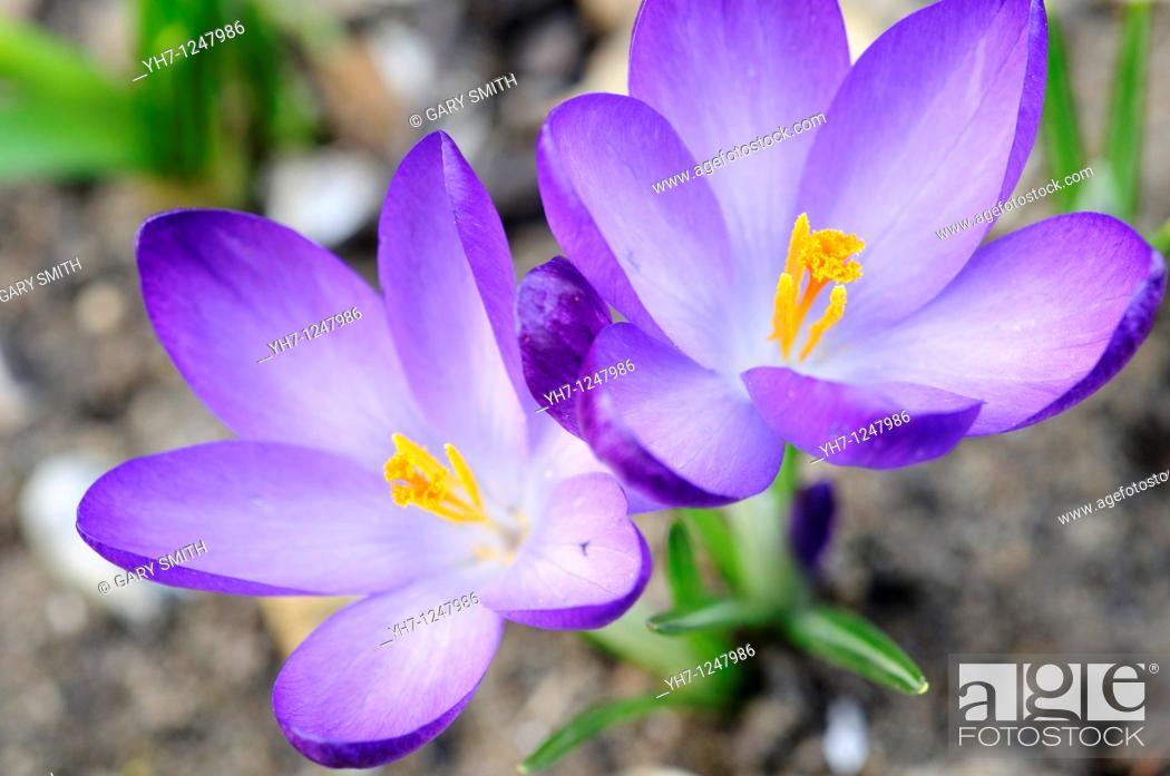 Stock Photo: Garden Crocus, two blooms flowering in garden border, UK, March.