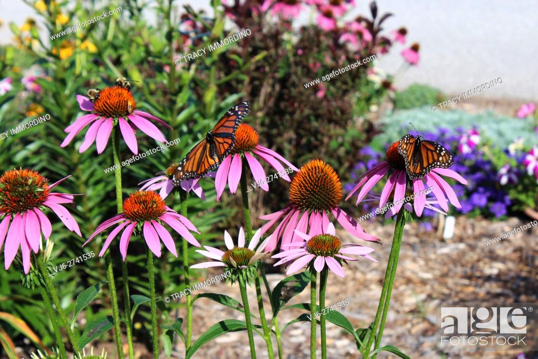 Stock Photo: Two female Monarch Butterflies and two bumble bees alighting upon Purple Coneflowers (Echinacea purpurea).