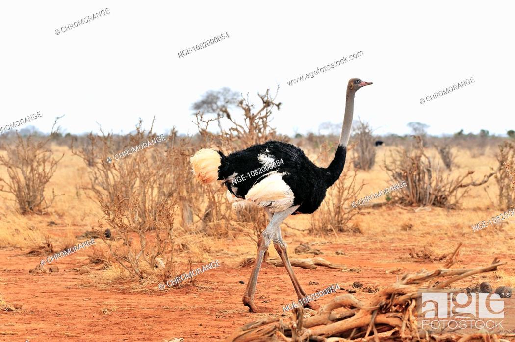 Imagen: Male African Ostrich.