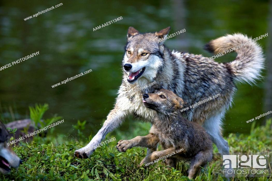 Stock Photo: Wolf 'Gray Wolf' or 'Timber Wolf' (Canis lupus), adult with young pup during spring , Sandstone, Minnesota, USA.