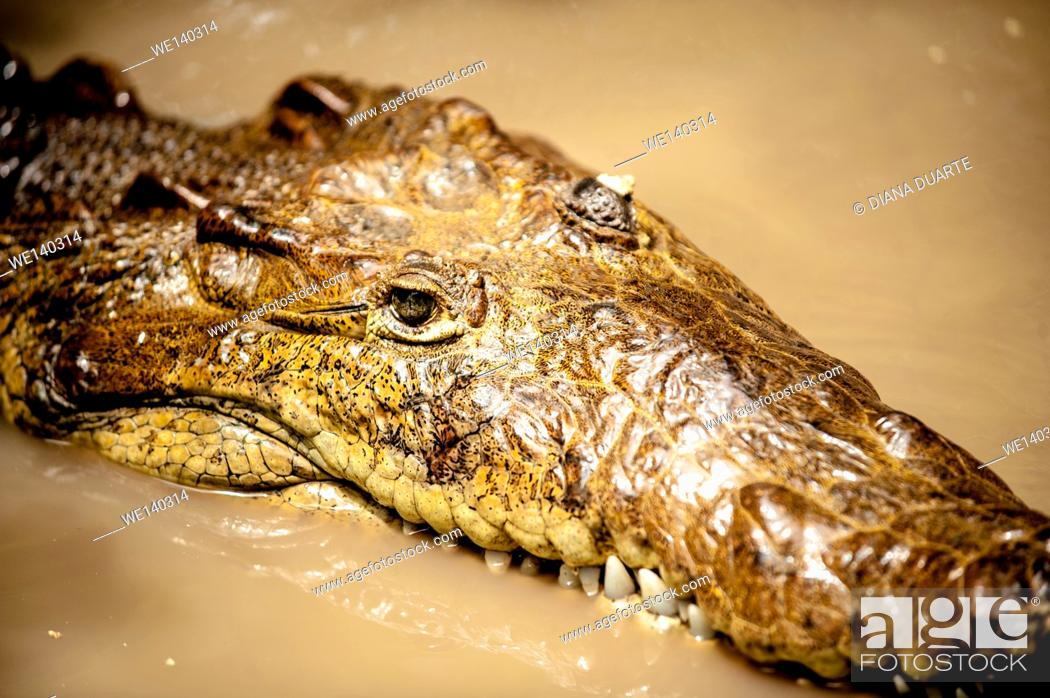 Stock Photo: 'American crocodile (Crocodylus acutus)'. The bodies of water in which they live are usually in lowland dry, moist, or wet forests.