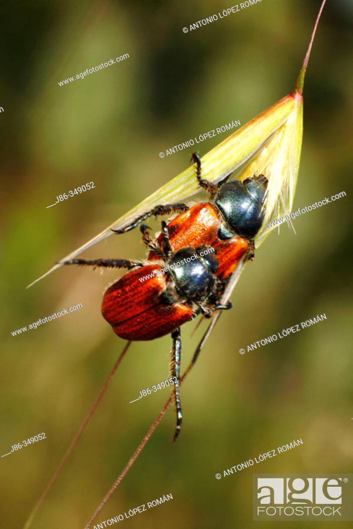 Stock Photo: Beetles (Phyllopertha horticola) mating.