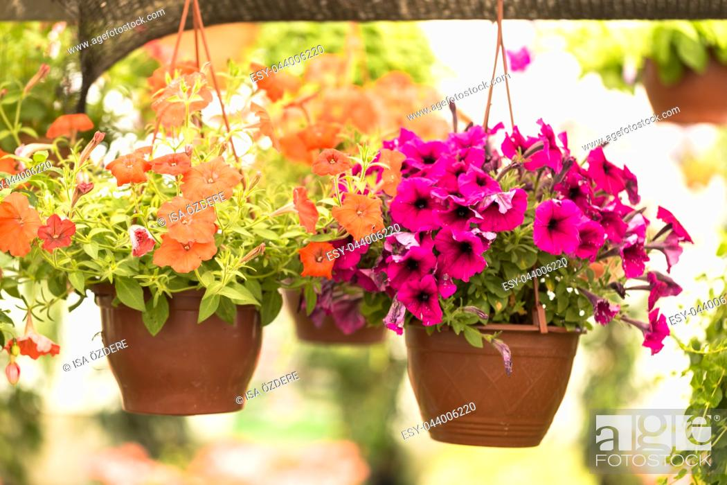 Imagen: Different kind of flowers and plants in pots hanging at a botanical garden in greenhouse.