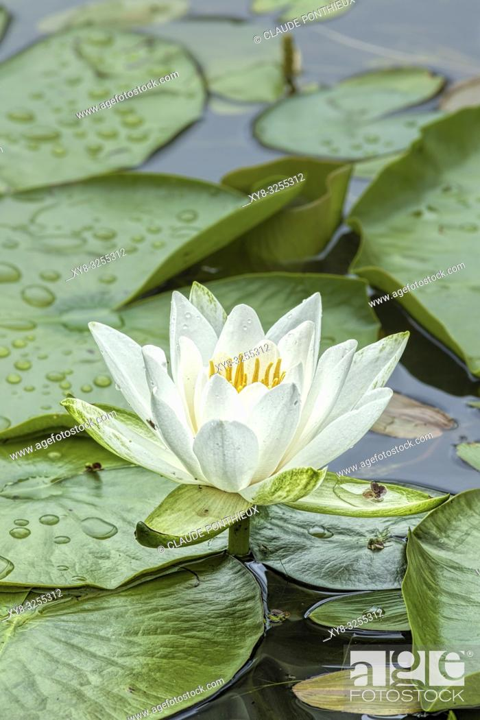 Stock Photo: Fragrant water-lily; Nymphaea odorata, Quebec, Canada.