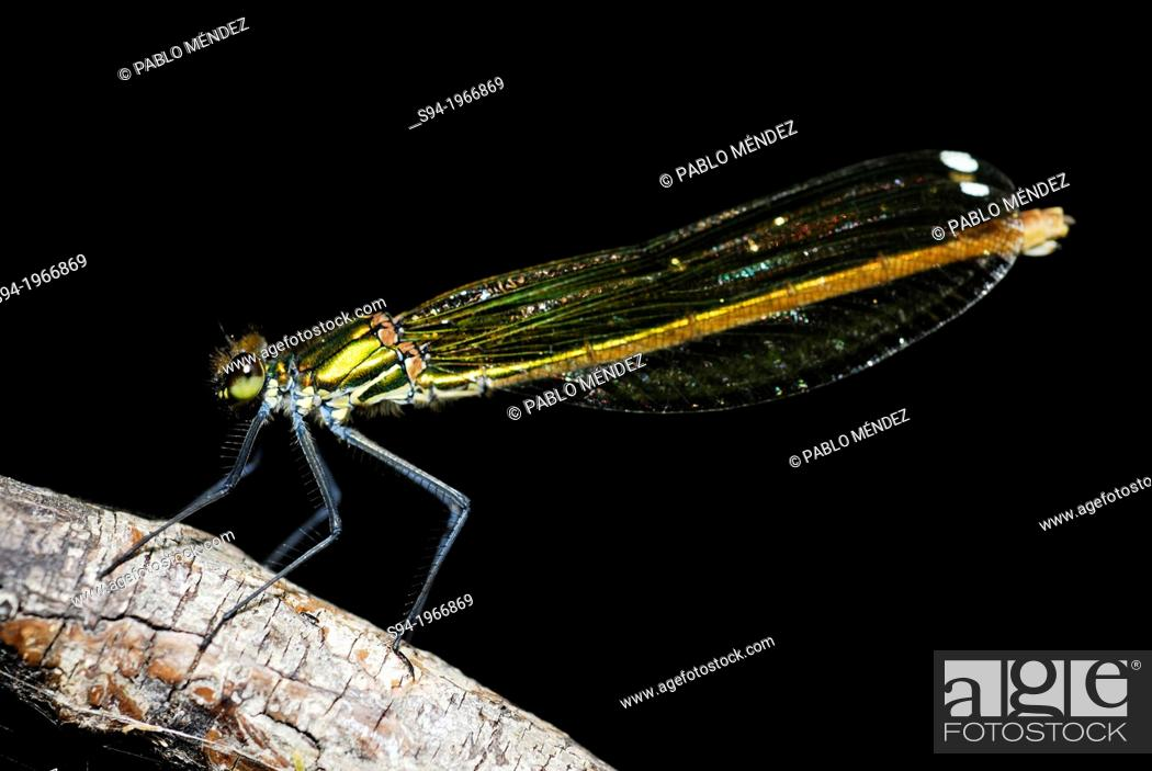 Imagen: Dragonfly (Calopteryx splendens) in Villarcayo, Burgos, Spain.