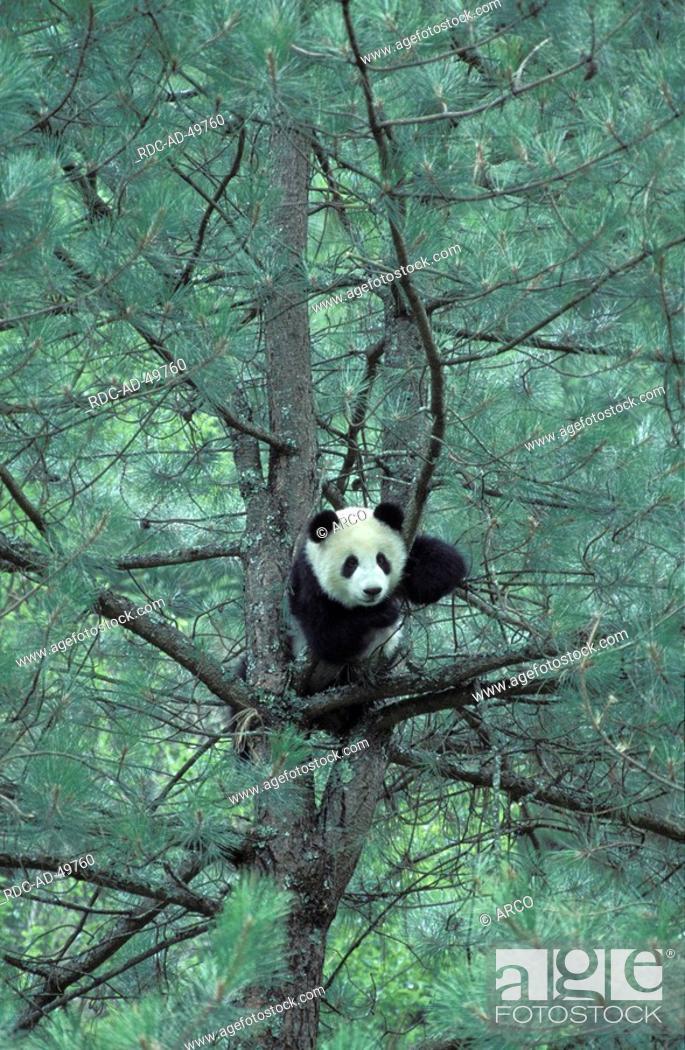 Photo de stock: Giant Panda in tree Ailuropoda melanoleuca.