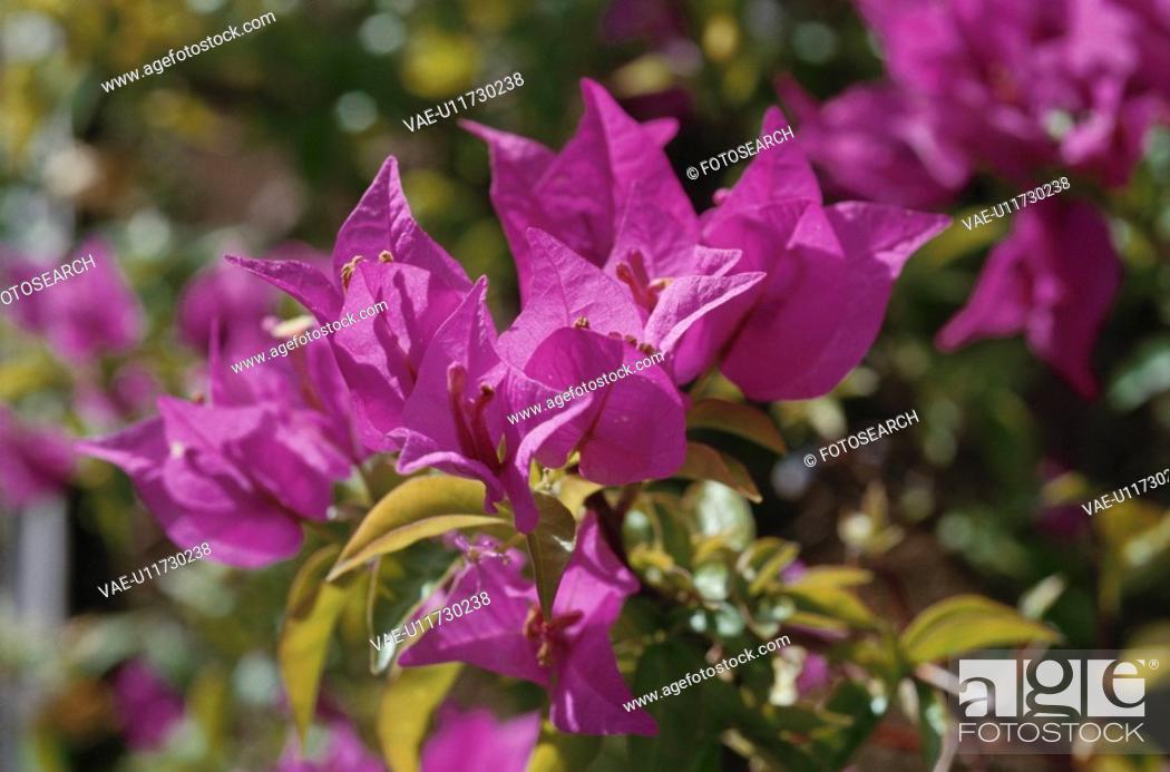 Stock Photo: Bougainvillea.