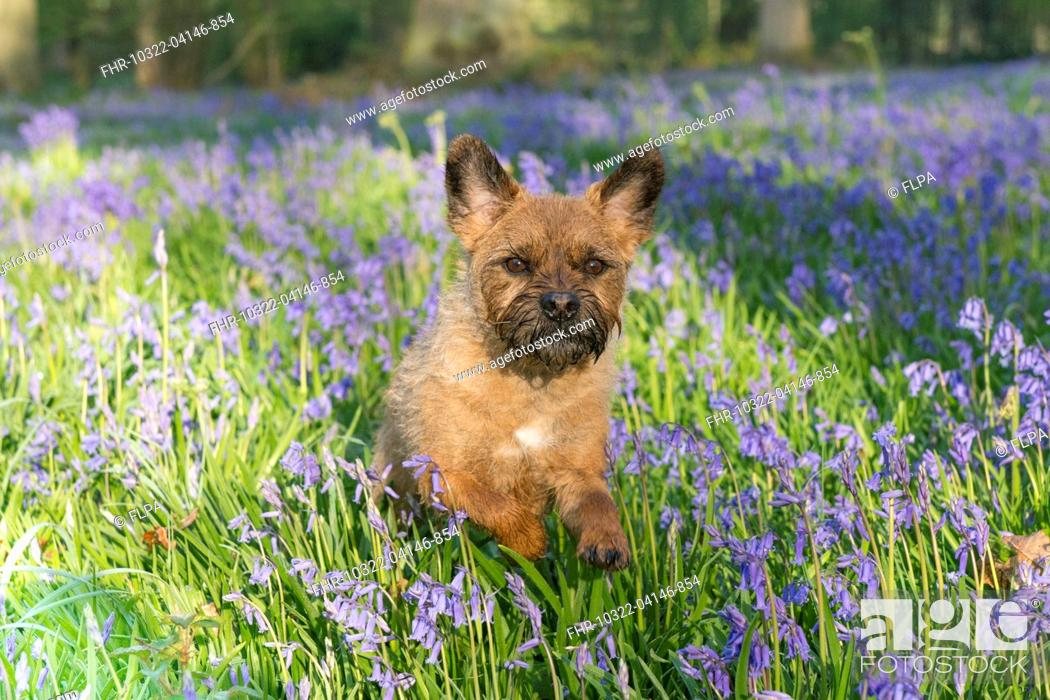 Stock Photo: Domestic Dog, Border Terrier, adult, running in Bluebell (Endymion non-scriptus) flowering mass in deciduous woodland, Blickling, Norfolk, England, May.