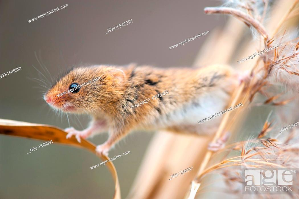 Stock Photo: Harvest Mouse Micromys minutus, climbing in reed, Bavaria.