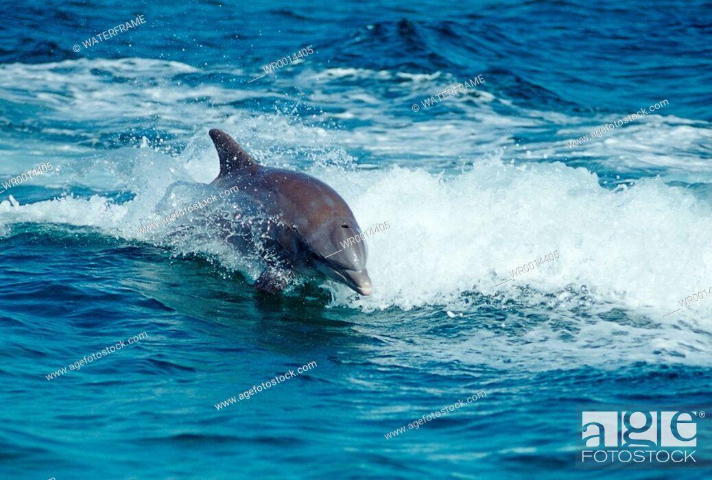 Imagen: Bottlenose Dolphin, Tursiops truncatus, Caribbean Sea, Bahamas.