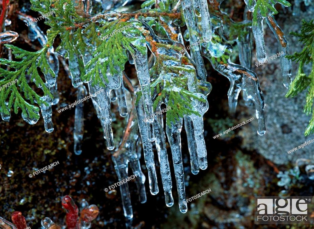 Stock Photo: Icicles On Branch.