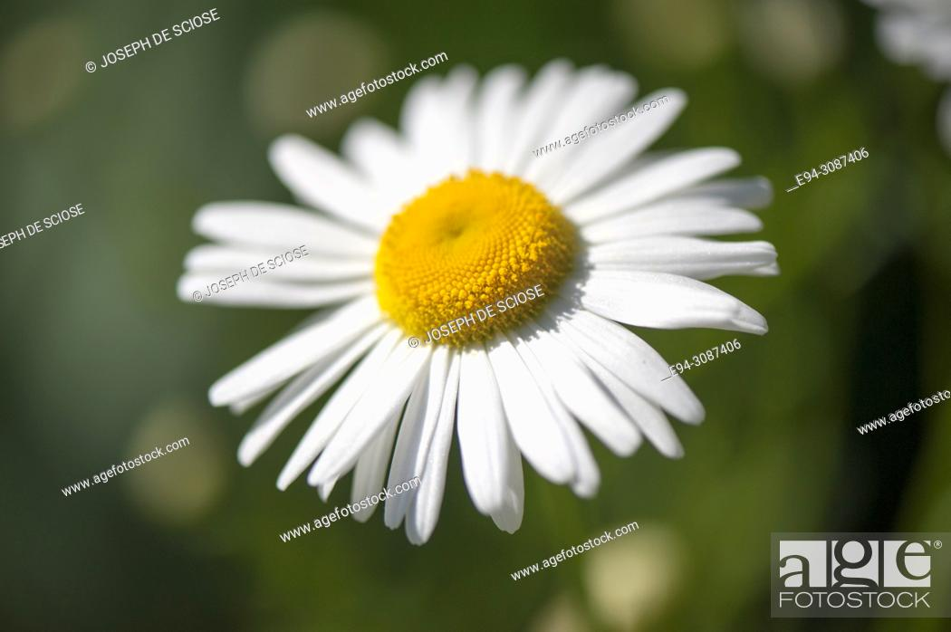 Stock Photo: A close-up of a shasta daisy flower in a garden in the springtime.