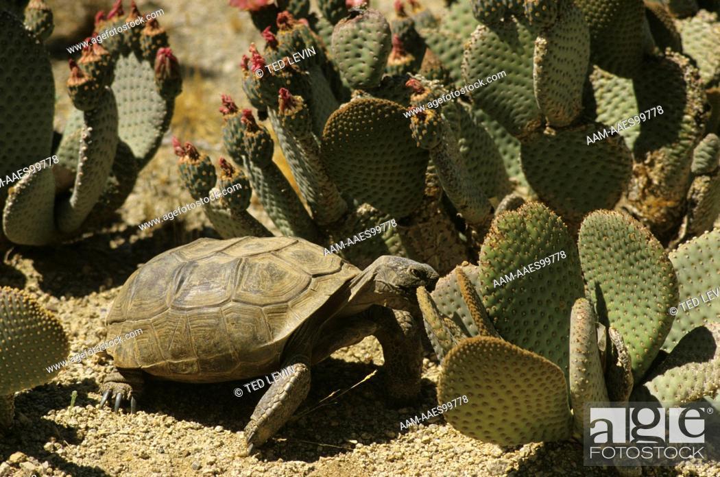 Stock Photo: Desert Tortoise (Gopherus agassizi) eating Beavertail Cactus, Joshua Tree N.M., CA.