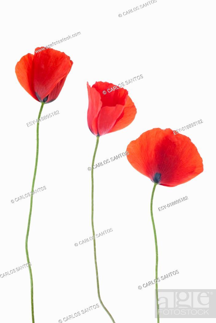 Stock Photo: Three poppies.
