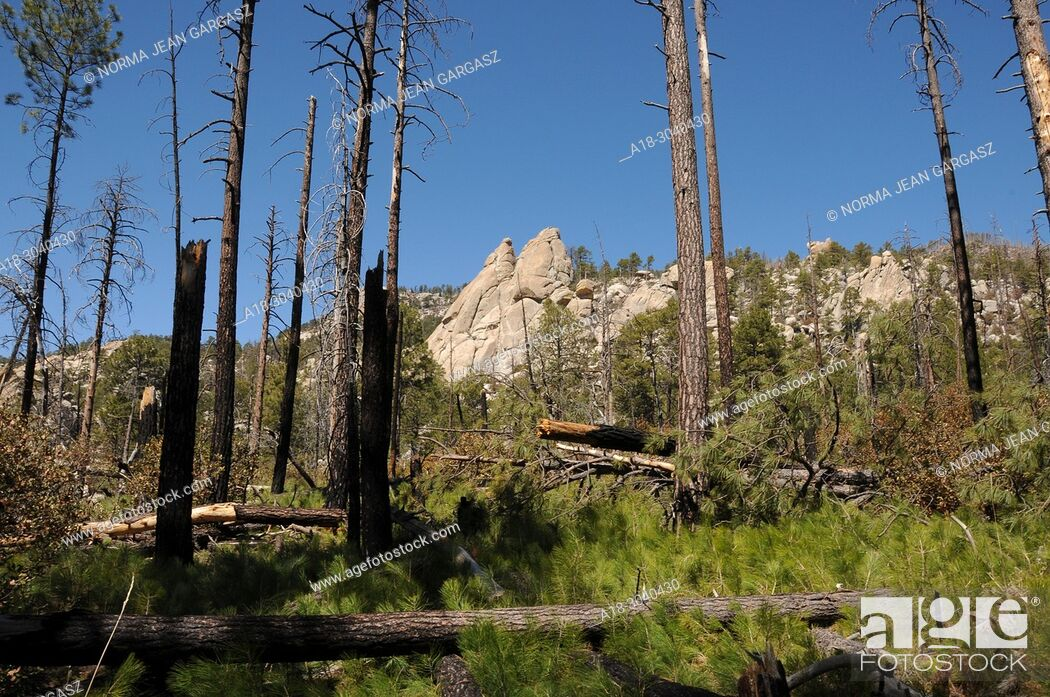 Stock Photo: New growth of pines, ferns and other plants emerges from the forest floor following the Aspen Fire, Arizona Trail, Wilderness of Rocks Trail, Trail.