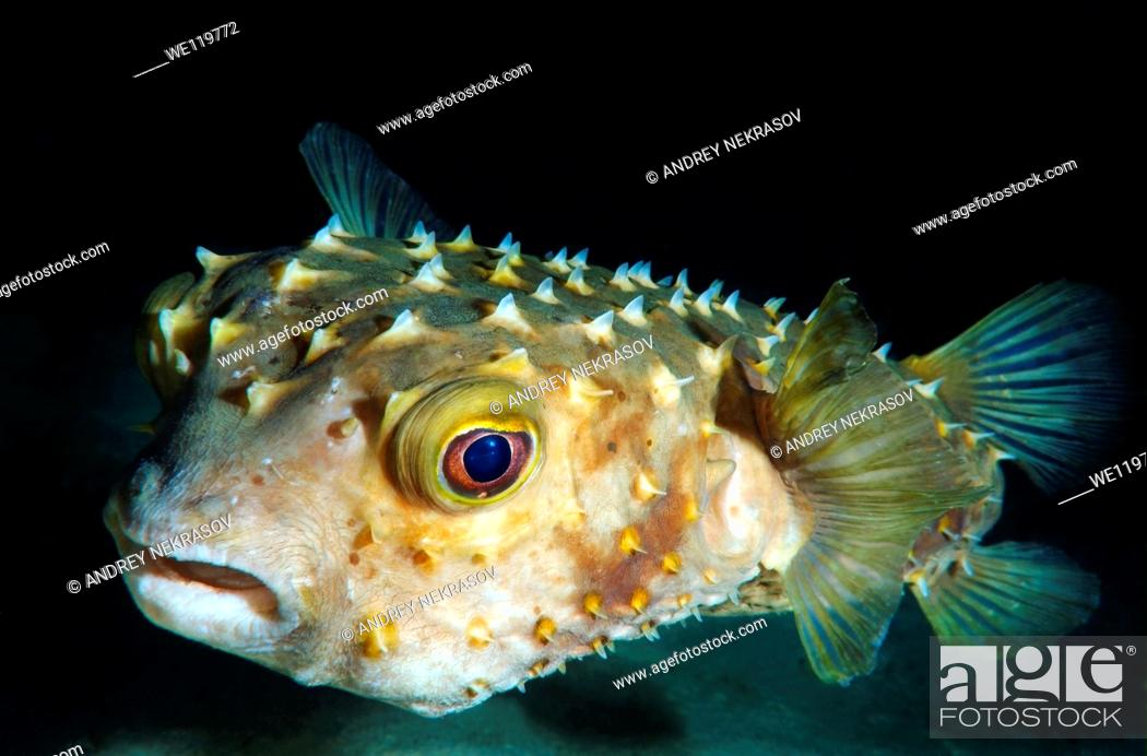 Stock Photo: Orbicular Burrfish Cyclichtys orbicularis Red Sea, Egypt, Africa.