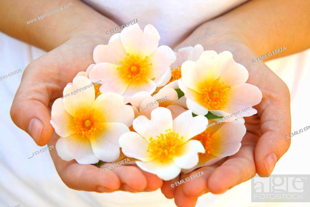 Stock Photo: Dog Rose (Rosa canina) flowers.
