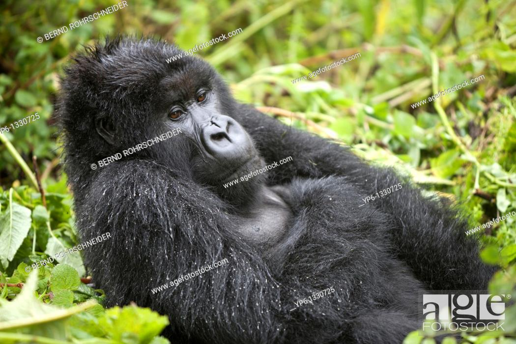 Stock Photo: Mountain Gorilla, Gorilla beringei beringei, male sitting in vegetation, Volcanoes National Park, Rwanda.