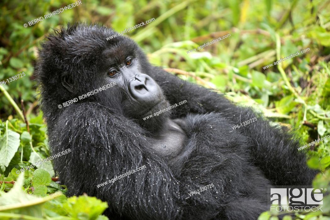 Stock Photo: Mountain Gorilla, Gorilla beringei beringei, male sitting in vegetation, Volcanoes National Park, Rwanda.